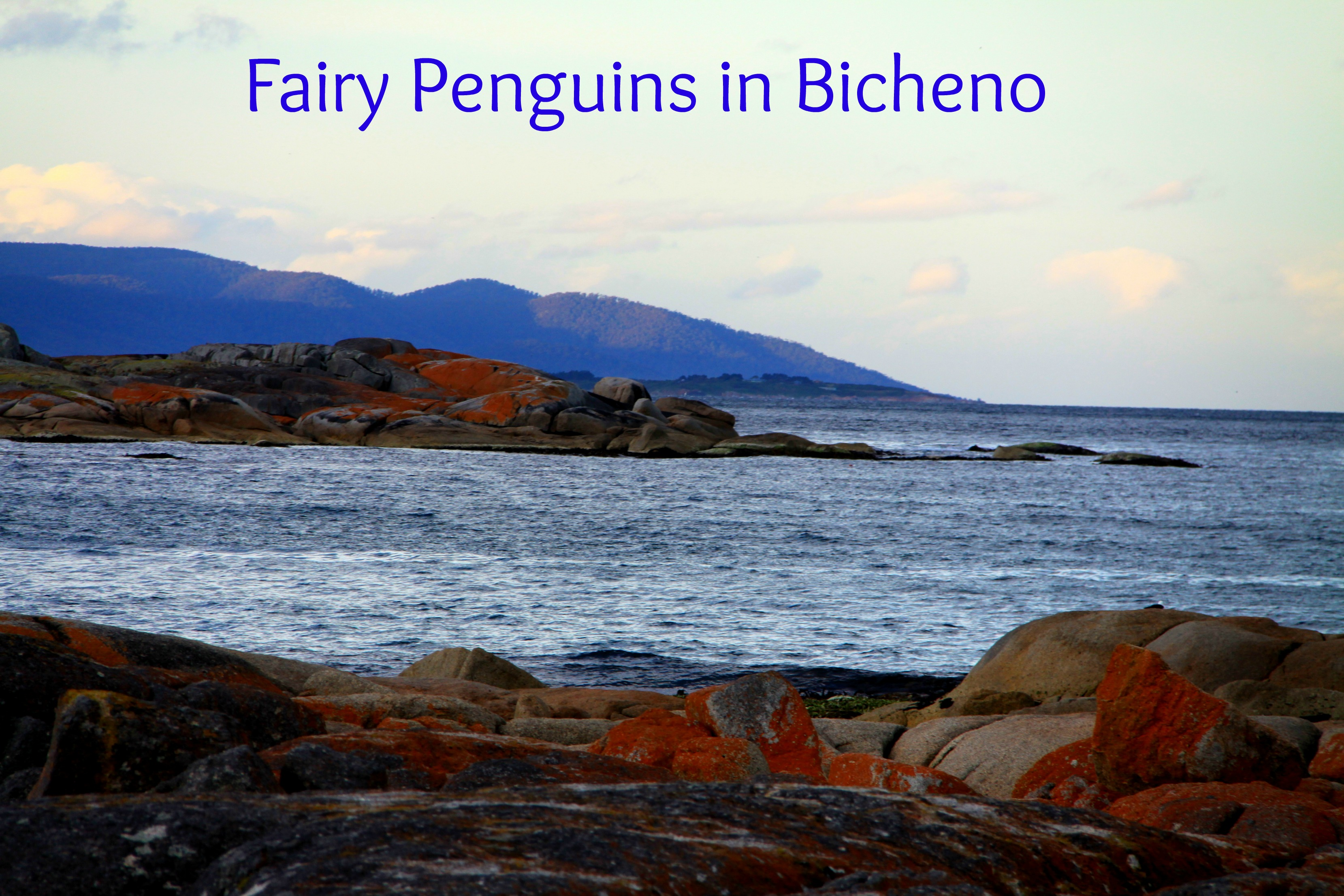 fairy penguins header