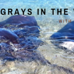 Stingrays in the wild in NSW